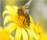 مرض قاتل يدمر خلايا النحل في ويلز