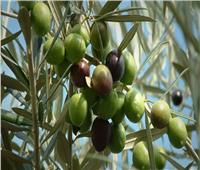 الزيتون من المحاصيل الواعدة.. تعرف على نصائح أغسطس للمزارعين