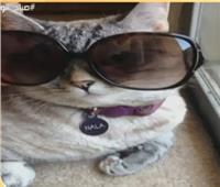 قطة أمريكية تكسب 8 آلاف دولار فى البوست الواحد على صفحتها الشخصية
