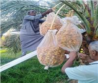 نصائح لـ«مزارعي النخيل» لحماية الثمار من التقلبات الجوية والآفات