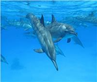 بعد فرض رسوم زيارتها.. «دلافين الغردقة» تتحدى «البيئة» وتهاجر للشواطىء