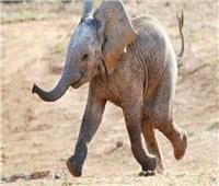 حظر الاتجار بـ«الفيلة الأفريقية الرضيعة»