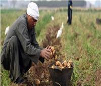 الزراعة: لا عجز في محصول البطاطس بالأسواق.. والأسعار ثابتة