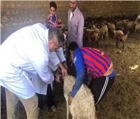 بدء الحملة القومية لتحصين الماشية ضد مرض «طاعون المجترات» بالفيوم