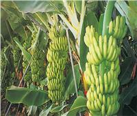 لمزارعي الموز.. نصائح سبتمبر لحماية النباتات من السقوط