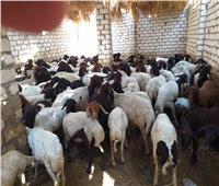 الزراعة تواصل حملات التحصين ضد مرض «طاعون المجترات الصغيرة»