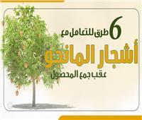 انفوجراف| 6 طرق للتعامل مع أشجار المانجو عقب جمع المحصول