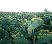 لمزراعي التين الشوكي .. 4 نصائح يجب إتباعها عند التجهيز للموسم الجديد