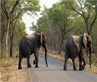 نفوق 7 أفيال في سريلانكا بسبب التسمم