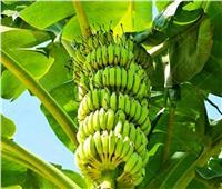 11 نصيحة لمزارعي الموز خلال أكتوبر..تعرف عليها
