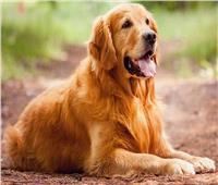 ما حكم لمس الكلب واقتنائه وبيعه؟.. «الإفتاء» تجيب