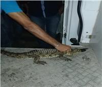 صور  البيئة تنجح في الإمساك بتمساح ببور فؤاد
