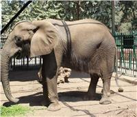 حزن بحديقة الحيوان لنفوق «نعيمة».. وتصريح بتحنيطها