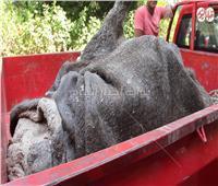 فيديو| نكشف مصير جثمان الفيلة «نعيمة» بعد أيام من وفاتها