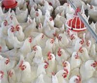 مع اقتراب الشتاء.. الزراعة تواصل تنفيذ إستراتيجية مكافحة أنفلونزا الطيور