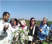 الأمم المتحدة تشارك في جني القطن بحقول كفر الشيخ