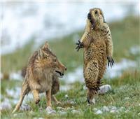 «فأر وثعلب» صورة تفوز بالجائزة الأولىفي الحياة البرية 2019| صور
