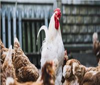 كوريا الجنوبية تُعلن اكتشاف مرض «أنفلونزا الطيور»