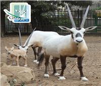 «أبو حراب» أحدث مولود بحديقة الحيوان