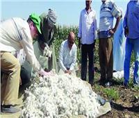 شراء 117 ألف قنطار قطن من مزارعي الفيوم وبني سويف