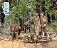 بالصور.. حديقة الحيوان تستعيد الشكل الجمالي لسور نبات الجهنمية المحترق