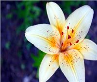 بحث طبي: زهور «زئبق السلام» تزيل السموم العالقة بالهواء