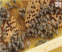 فيديو| أوله «لدغة» وأخره «عسل».. مالا تعرفه عن مملكة النحل