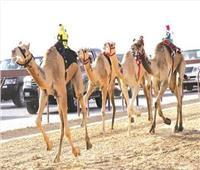 الكويت تستضيف بطولة الخليج السادسة لسباق الهجن 17 نوفمبر الجاري