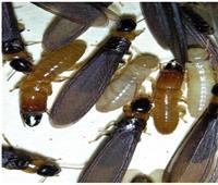 «النملة المجنحة» أزمة 20 عامًا من التراخي.. وزراعة الإسكندرية تبحث عن حلول