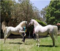 الثلاثاء.. «الزراعة» تنظم مزاد لبيع فائض خيول محطة الزهراء