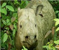 بعد نفوق أخر أنثى.. انقراض وحيد قرن ماليزيا