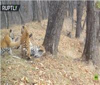 شاهد| مصور يلهو مع النمور في الغابة.. كيف حدث ذلك؟