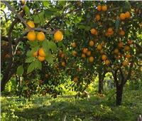 7 نصائح لـ«مزارعي الموالح» يجب إتباعها خلال ديسمبر..تعرف عليها