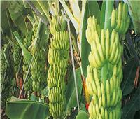 نصائح لمزارعي الموز عند جمع السوباطات مكتملة النمو.. تعرف عليها