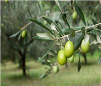 «البحوث الزراعية» تنظم ورشة عمل عن الزيتون في مصر