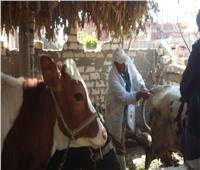 «الزراعة» تحصن 4 ملايين رأس ماشية ضد «الجلد العقدي» و«طاعون المجترات»