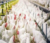 «الزراعة»: تحصين 20 مليون طائر ضد «أنفلونزا الطيور»