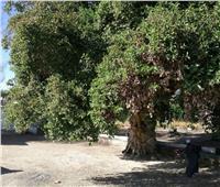 حكايات  كرامات «الشجرة العتيقة».. يسعى إليها المرضى وعشاق حلقات الذكر