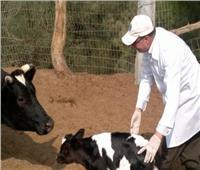 تحصين 265ألف رأس ماشية ضد الحمى القلاعية