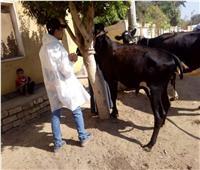 تحصين 325 ألف رأس ماشية ضد الحمي القلاعية والوادي المتصدع بالمنوفية