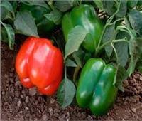 لمزارعي الفلفل.. نصائح لعلاج ضعف التزهير وزيادة جودة المنتج