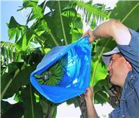 لمزراعي الموز.. 10 نصائح لحماية السوباطات من الطقس البارد والصقيع
