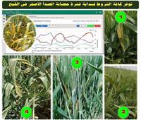 «الزراعة» تصدر نشرة إرشادات لوقاية القمح من مرض الصدأ الأصفر