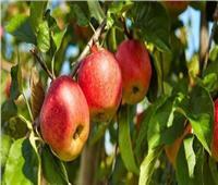 5 نصائح لمزارعي التفاح خلال فترة التزهير.. تعرف عليها