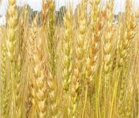 حقيقة إصابة محصول القمح المصري بفطر «الصدأ الأصفر»