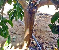 لمعـالجة التصمغ في أشجار الموالح خلال يناير.. اتبع هذه النصائح