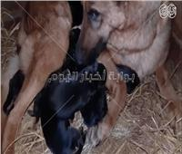 معلومات عن الكلبة الحامل والجراء أثناء وبعد الولادة
