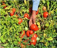 6 نصائح لـ«مزارعي الطماطم» تمهيدا لزراعة العروة الصيفية..تعرف عليها