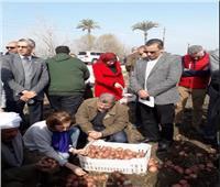 الوكالة الأمريكية للتنمية الدولية تحتفل بأول إنتاج للبطاطس في بني سويف