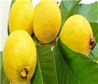 نصائح وإرشادات لـ«مزراعي الجوافة» لاتباعهاخلال فصل الشتاء